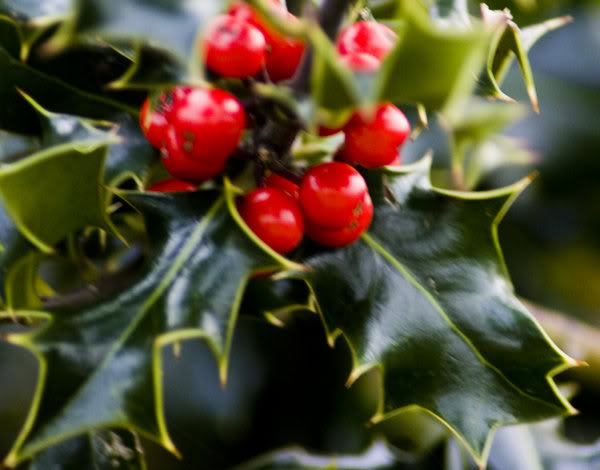 Christmas_Holly_by_rosscaughers