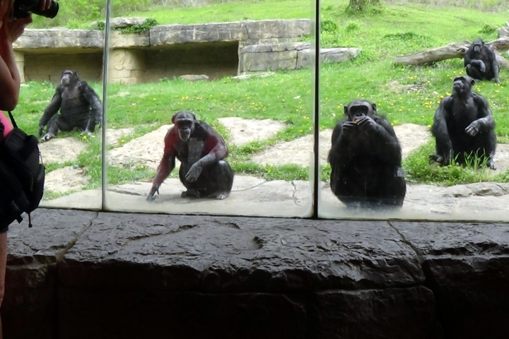 Chimps assemble for snack time.
