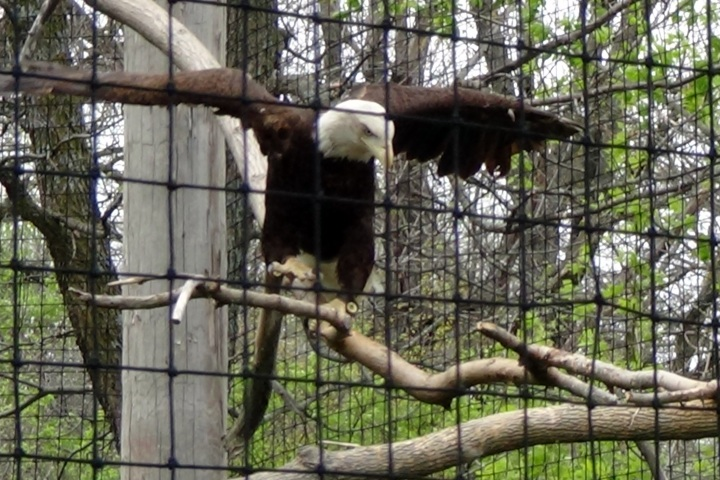 Bald eagle unexpectedly on display (and out of place) in Africa.